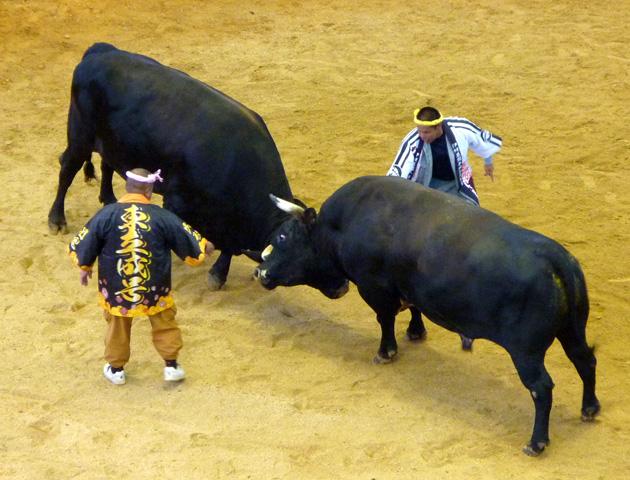 秋の全島闘牛大会